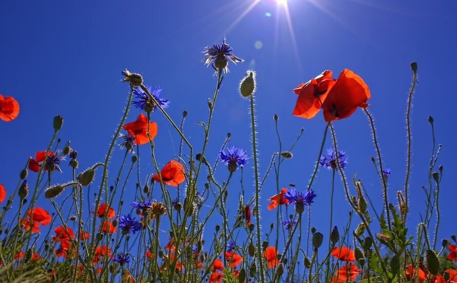 field-of-poppies-sun-spring-nature-large