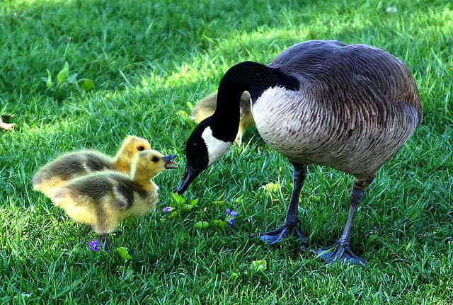 canada-goose-216003_640